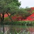 彼岸花咲く津屋川