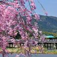 桜の渡月橋