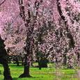 二条城 桜苑