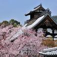 桜の天龍寺