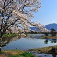 桜の大沢池
