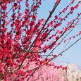 結城神社の梅