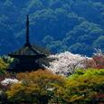 京都清水の桜