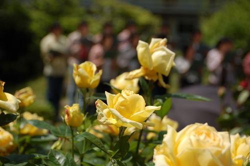 歌声にバラが咲く