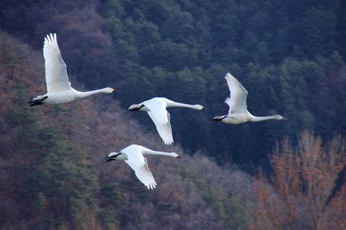 安曇野 白鳥羽ばたく