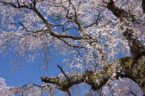 南信州 古木桜