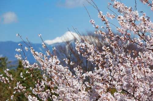 南信州高森 残雪の里桜