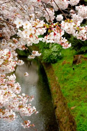 哲学の道 桜の通り